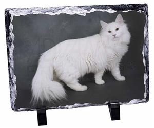 White Norwegian Forest Cat, AC-105