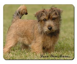 Norfolk Norwich Terrier