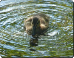 Duckling, AB-D1
