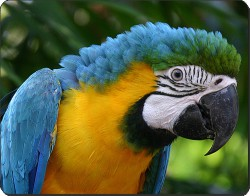 Blue and Gold Macaw, AB-PA10