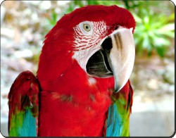 Green Winged Macaw, AB-PA11
