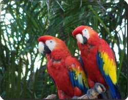 Red Macaws, AB-PA12