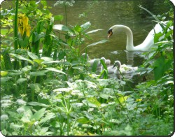 Swan and Cygnets, AB-S7