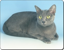 Japanese Korat Cat, AC-101
