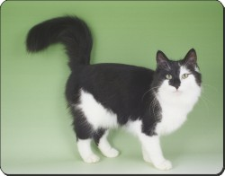 Black and White Norwegian Forest Cat, AC-104