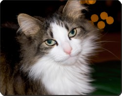 Tabby and White Cat, AC-10