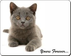 Silver Blue Cat with Sentiment, AC-133