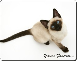 Siamese Cat with Sentiment, AC-145