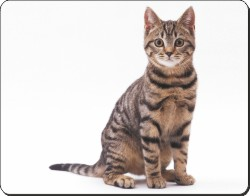 Brown Tabby Cat, AC-154