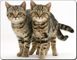Brown Tabby Cats, AC-156