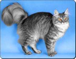 Silver Maine Coon Cat, AC-15