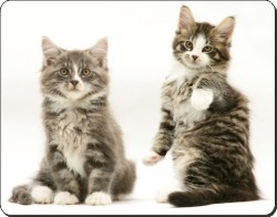Tabby and White Kittens, AC-162