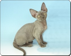 Devon Rex Cat, AC-175