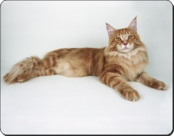 Red Maine Coon Cat, AC-17