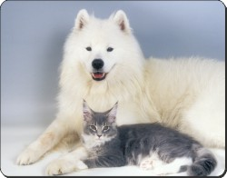 Samoyed and Maine Coon Cat, AC-18