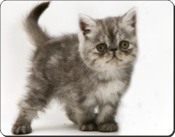 Silver Exotic Kitten, AC-196