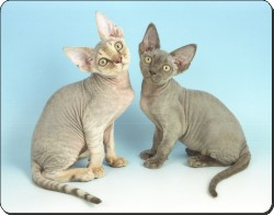 Devon Rex Cats, AC-20