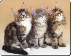 Maine Coon Kittens, AC-28