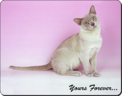 "Burmese Cat ""Yours Forever..."", AC-32y"