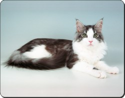 Silver Maine Coon Cat, AC-36