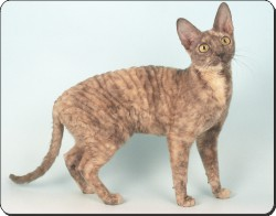 Cornish Rex Cat, AC-39