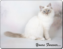 "Birman Cat ""Yours Forever..."", AC-47y"