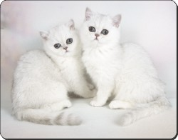 White Exotic Kittens, AC-52