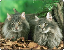 Blue Norwegian Forest Cats, AC-55