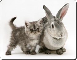 Silver Exotic Kitten and Rabbit, AC-62