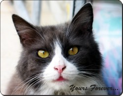 "Black and White Cat ""yours Forever..."", AC-80y"