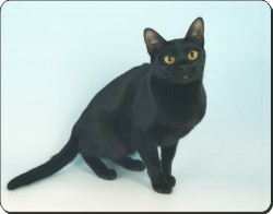 Black Bombay Cat, AC-95