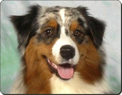 Australian Shepherd Dog, AD-AS1