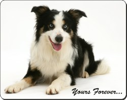 Border Collie with Sentiment, AD-BC36