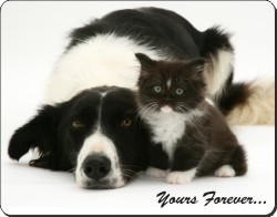 Border Collie and Kitten with Sentiment, AD-BC7