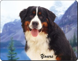 Bernese Mountain Dog, AD-BER6y