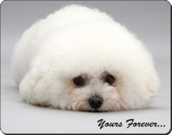 Bichon Frise with Sentiment, AD-BF3