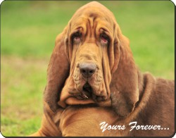 "Basset Hound Dog ""Yours Forever..."", AD-BH7y"