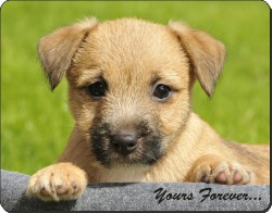 "Border Terrier Puppy ""Yours Forever..."", AD-BT4y"