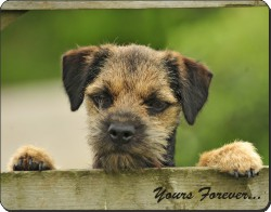 "Border Terrier Puppy Dog ""Yours Forever..."", AD-BT5y"