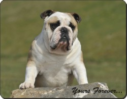 "A Proud Bulldog ""Yours Forever..."", AD-BU89y"