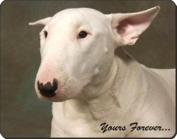"Bull Terrier Dog ""Yours Forever"", AD-BUT1y"
