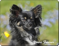 "Black Chihuahua ""Yours Forever..."", AD-CH4y"