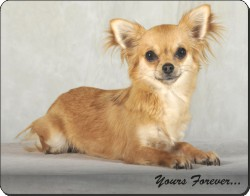 "Brown Chihuahua ""Yours Forever..."", AD-CH6y"