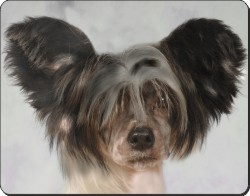 Chinese Crested, AD-CHC1