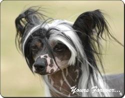"Chinese Crested Dog ""Yours Forever..."", AD-CHC2y"