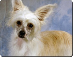 Chinese Crested Powder Puff, AD-CHC3