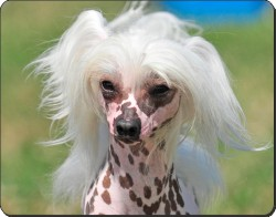 Chinese Crested Dog, AD-CHC4