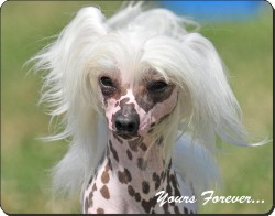"Chinese Crested Dog ""Yours Forever..."", AD-CHC4y"