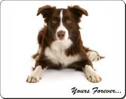 "Liver and White Border Collie ""Yours Forever..."", AD-CO81y"