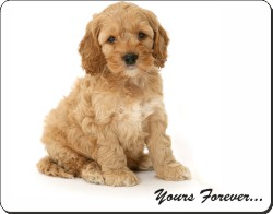 "Cockerpoodle Puppy ""Yours Forever..."", AD-CP6y"